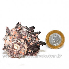 Amonite Fossil de Cefalopode Ideal P/Colecionador Cod 126457
