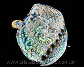 Abalone Concha Petrificada Para Colecionador Cod CA9152